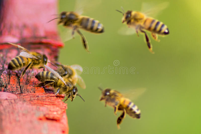 Honey Bees photos stock