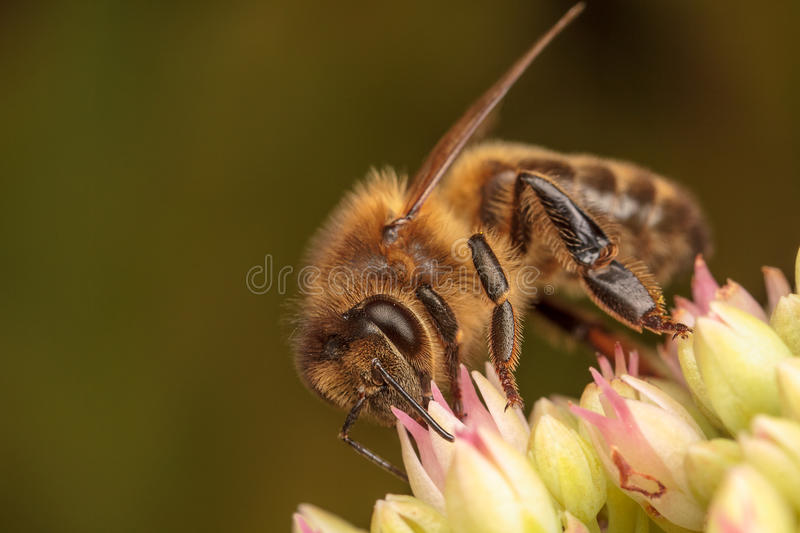 Honey Bees fotos de stock royalty free