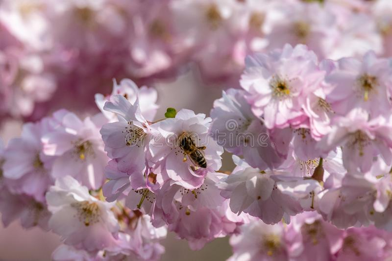 Honey bees  Apis collecting nectar pollen from white pink cherry blossom in early spring stock photography