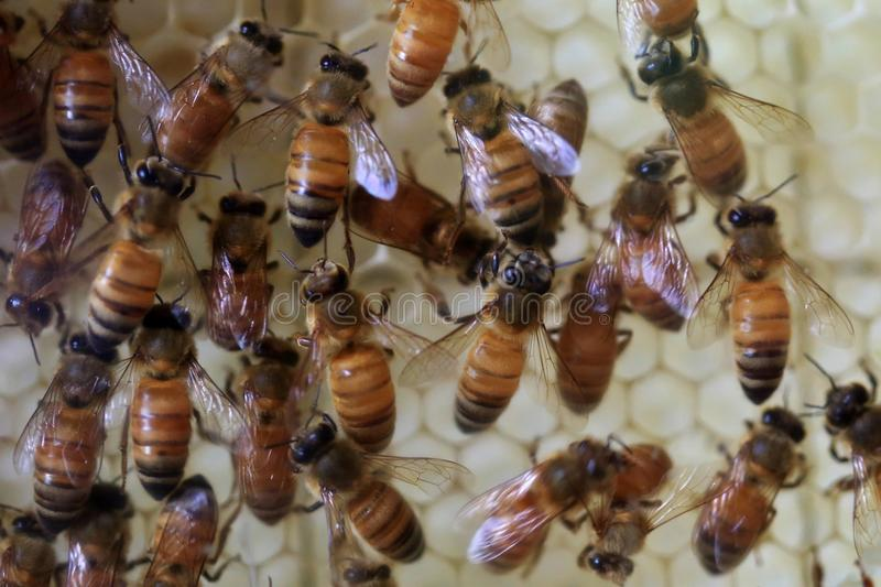 Honey bees (Apis mellifera) stock image