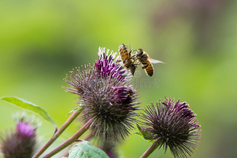 Honey bees & x28;Apis mellifera& x29; fighting over flower royalty free stock image
