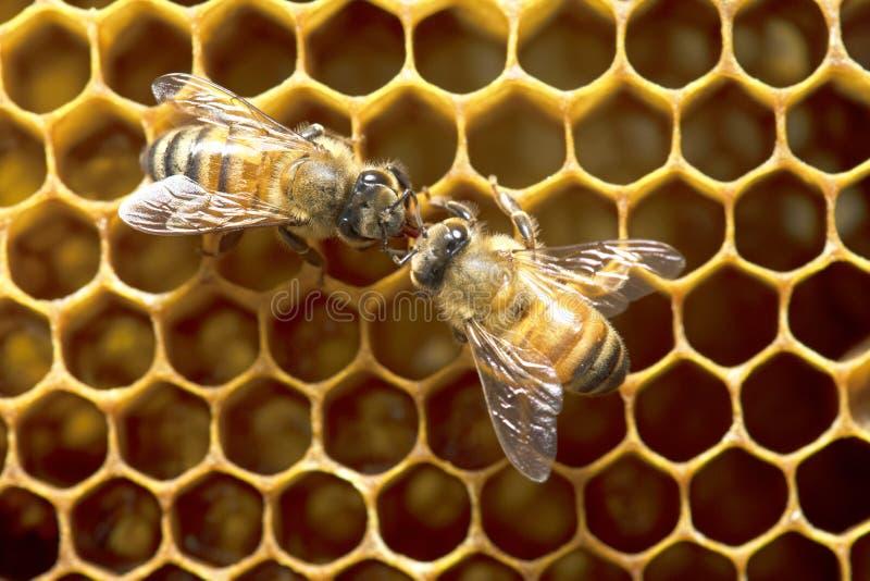 Honey Bees auf Bienenbienenstock in Thailand und in Südostasien lizenzfreie stockfotos