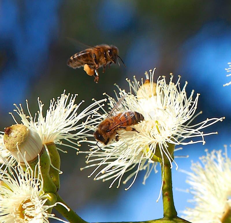 Honey Bees Busy Pollinating Sugar Gum Tree (Eucalyptus cladocalyx) royalty-vrije stock afbeelding