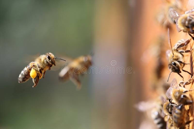 Honey bees carrying pollen. Shot of a honey bees carrying pollen into the beehive stock photo