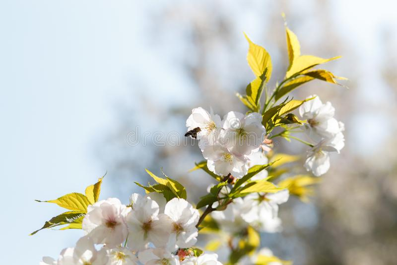 Honey bees collecting pollen and nectar as food for the entire colony, pollinating plants and flowers - Spring time to royalty free stock image