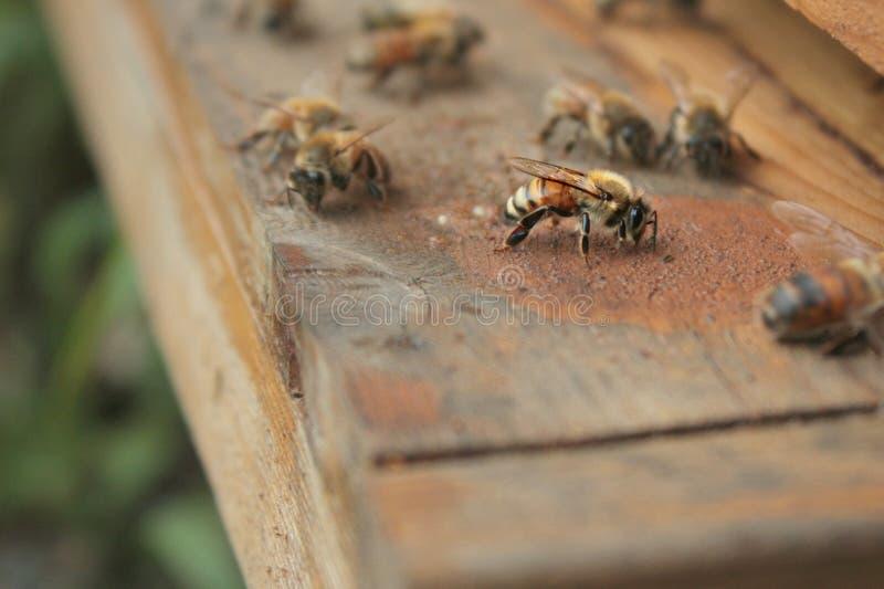 Honey Bees On Entrance Of-Bienenstock lizenzfreie stockbilder