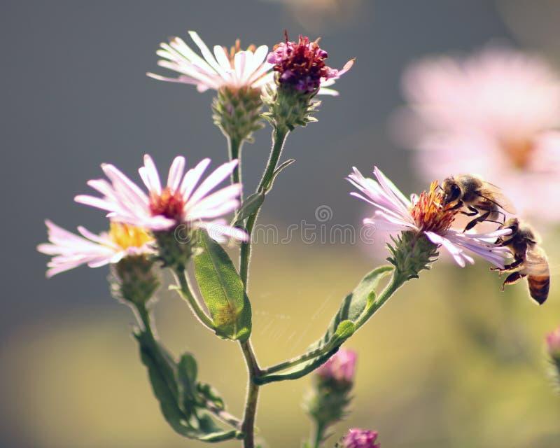 Honey Bees on flower royalty free stock photos
