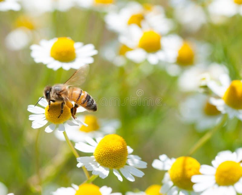Honey bees on flower. Honey bees on chamomile flower stock images
