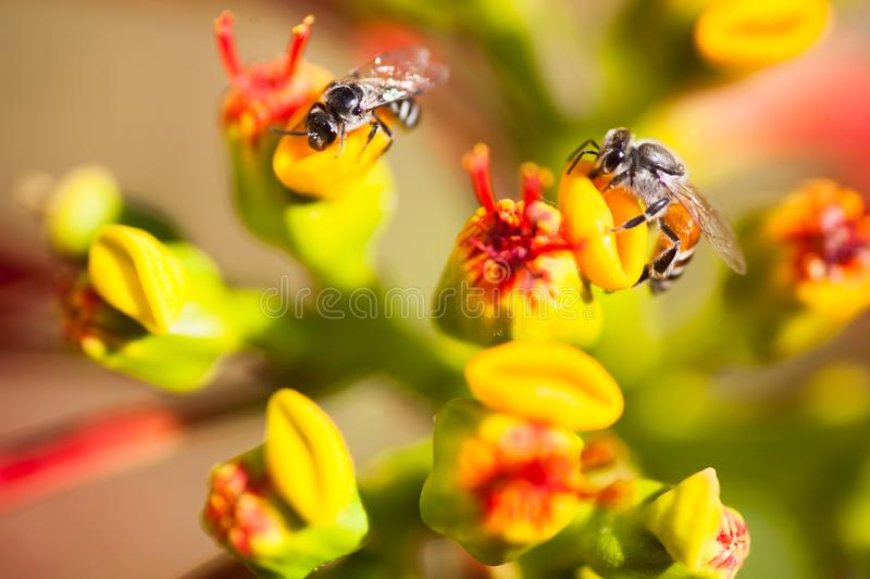 Honey bees on flowers stock images