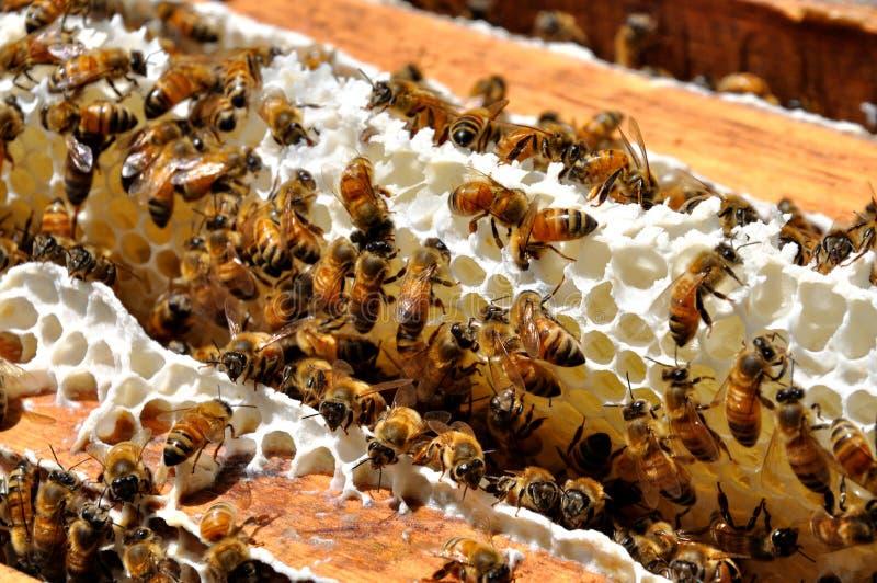 Honey Bees. Gathered on honeycomb in beeyard royalty free stock photo