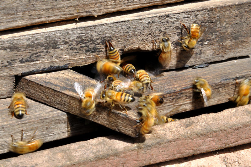 Honey Bees. Are getting in and out of the honeycomb royalty free stock photos