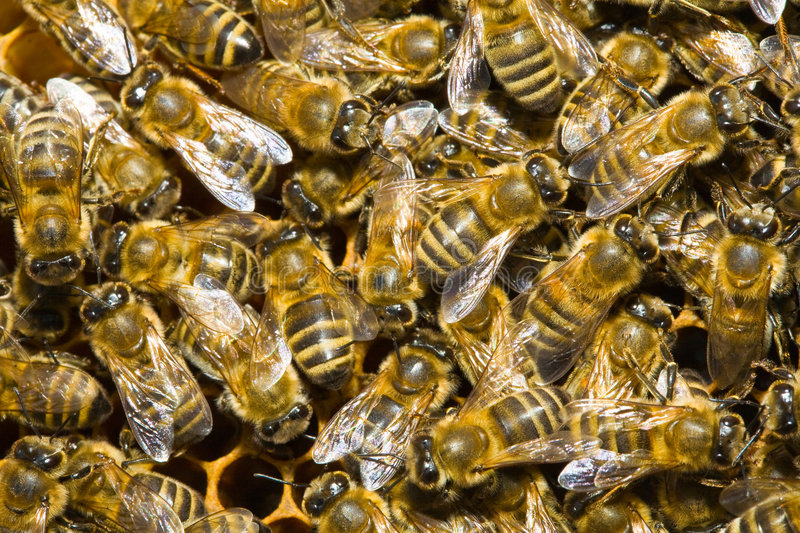 Honey bees in hive royalty free stock image