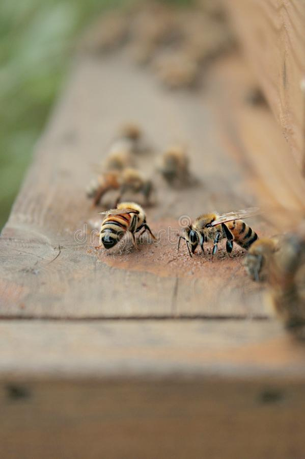 Honey Bees On Hives Entrance imagen de archivo