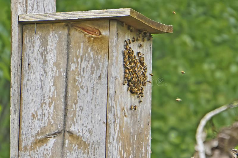 Honey bees. Take over a birdhouse royalty free stock photo