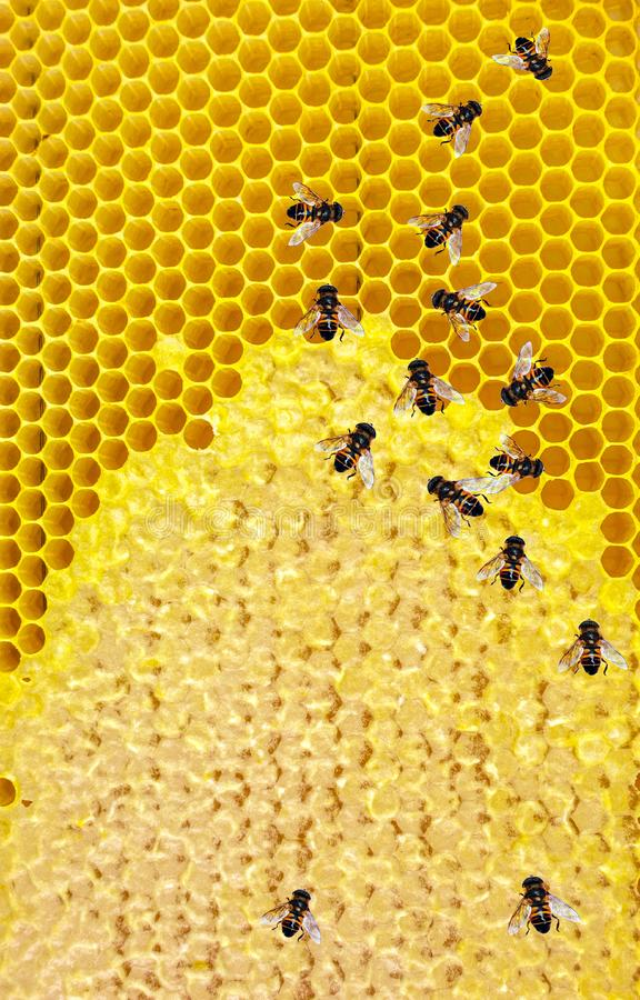 Honey bees Honeycomb close-up. Honeycomb with bees background royalty free stock photos