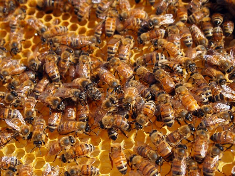 Honey Bees In Honeycomb stock photography