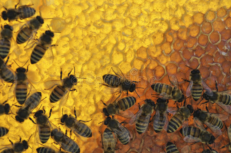 Honey bees on honeycomb royalty free stock images