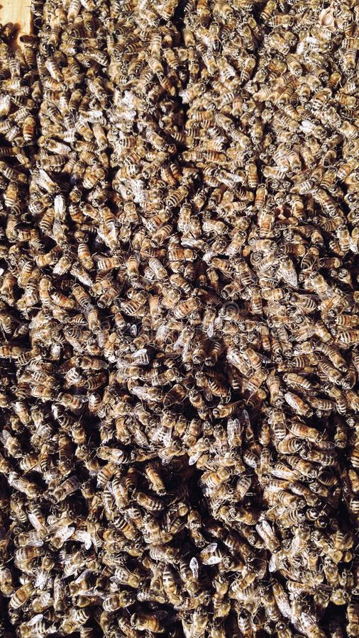 Honey Bees i bikupan arkivbilder