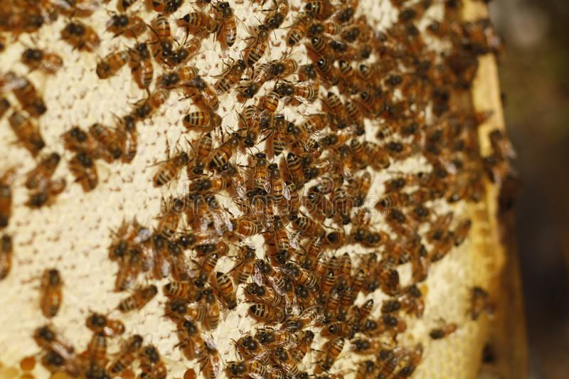 Honey bees kept in a bee box producing fresh honey royalty free stock images