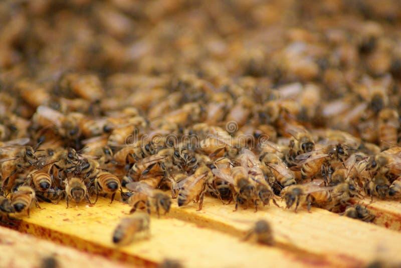 Honey Bees op houten rek stock afbeelding