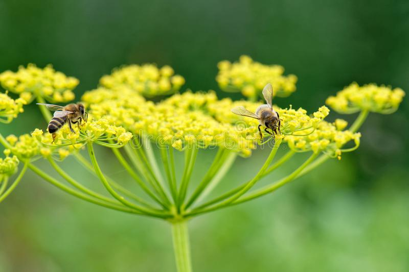 Honey bees on parsnip close up. Close up of honey bee Apis mellifera collecting nectar and pollen on parsnip Pastinaca sativa flower stock image