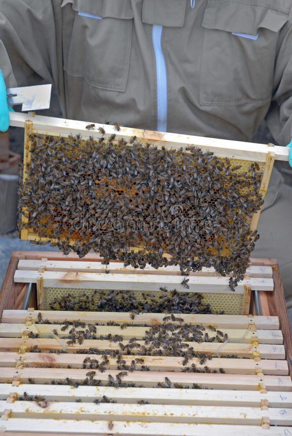 Download Honey Bees Removed From The Hive Stock Image - Image: 26547015