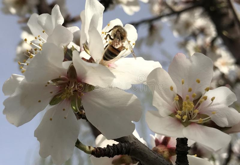 Honey bees and spring blossoms royalty free stock photography