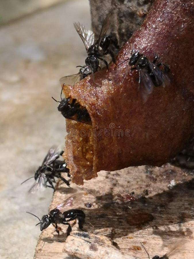 Honey Bees Stingless fotografie stock