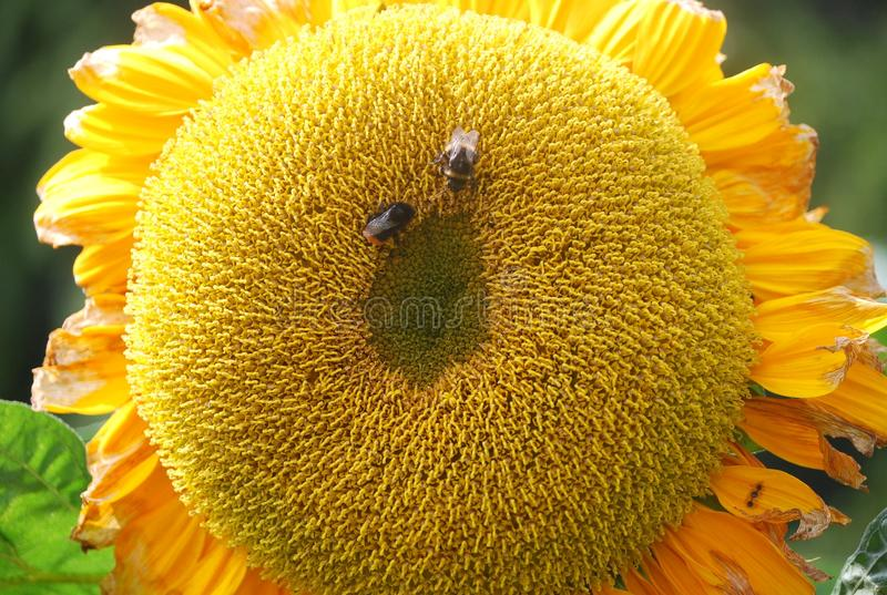 Honey bees sun flower royalty free stock images