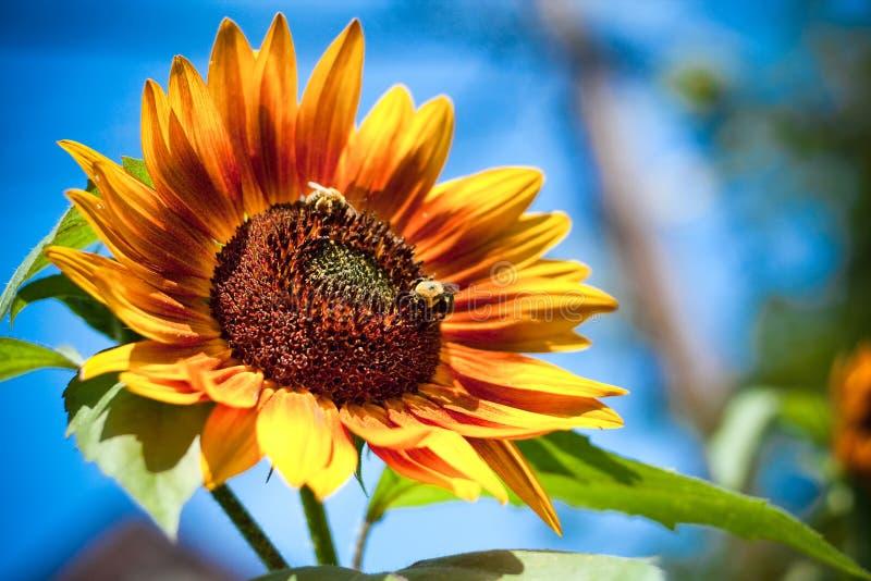 Honey bees on sunflower stock photo