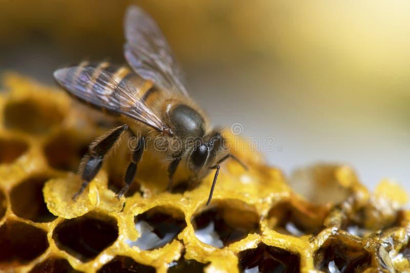 Honey Bees sur la ruche d'abeille photographie stock libre de droits
