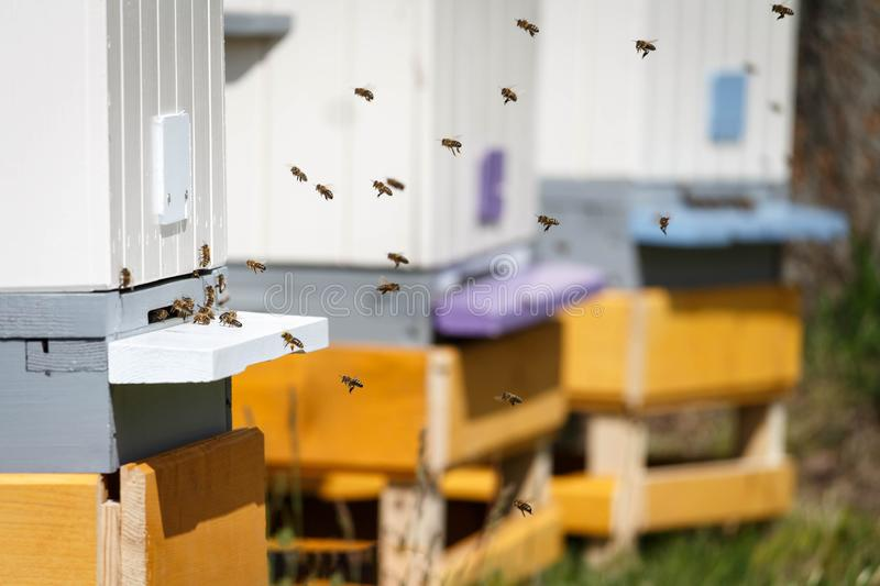Honey bees swarming near bee hives in an apiary royalty free stock photography