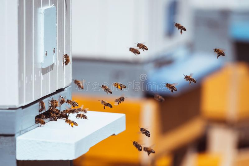 Honey bees swarming near bee hives in an apiary. In spring. White, orange and blue color toning royalty free stock photography