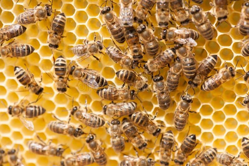 Honey bees working on honey comb royalty free stock photo