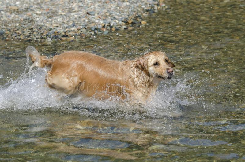 Honey color golden retriever swim in a little lake royalty free stock images
