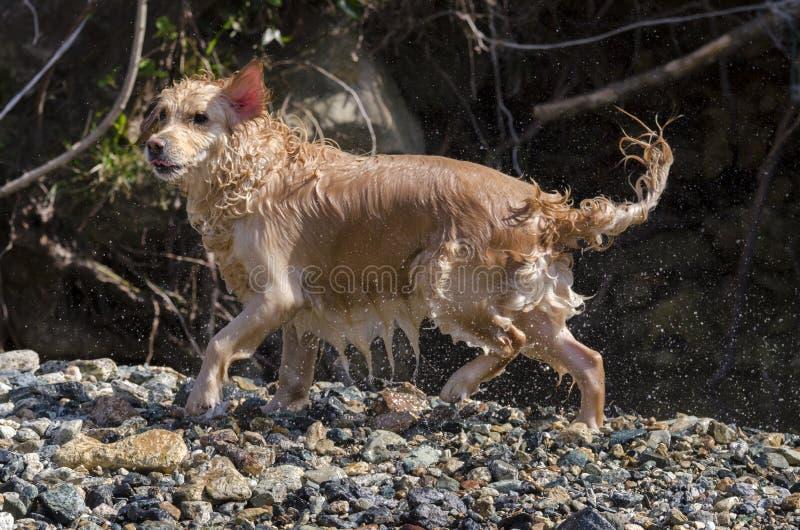 Honey color golden retriever swim in a little lake royalty free stock image