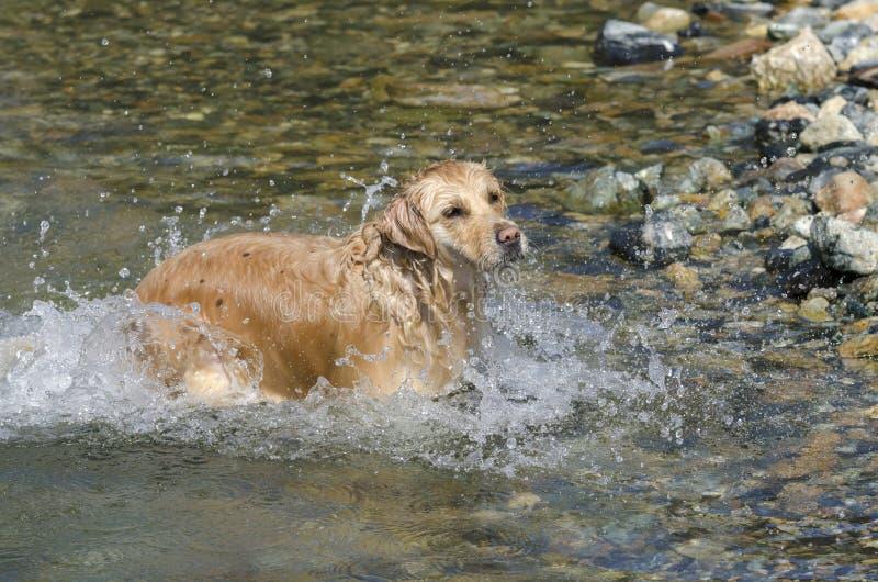 Honey color golden retriever swim in a little lake royalty free stock photo