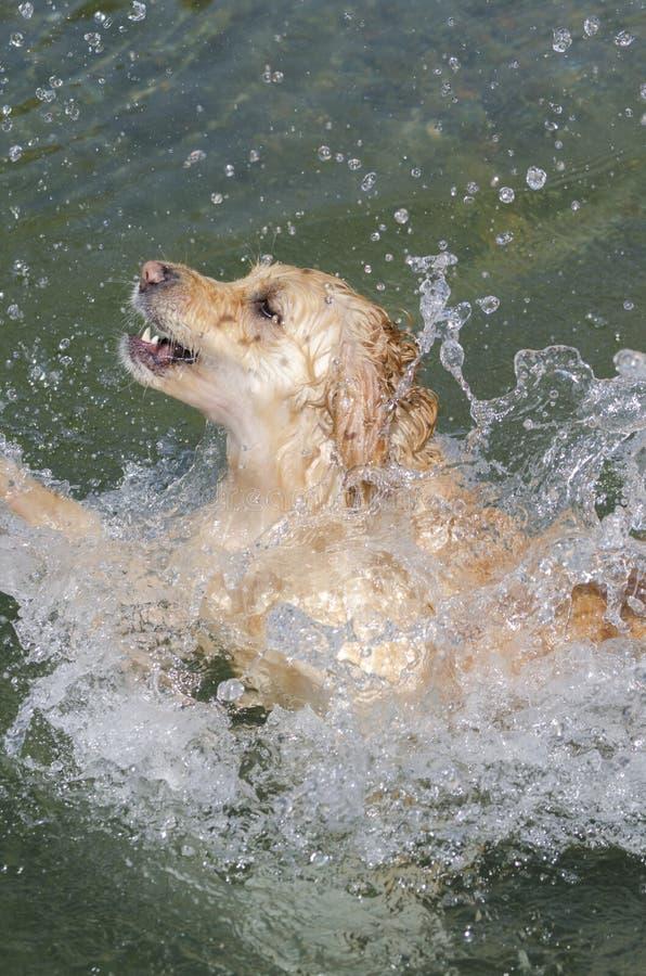 Honey color golden retriever swim in a little lake stock images