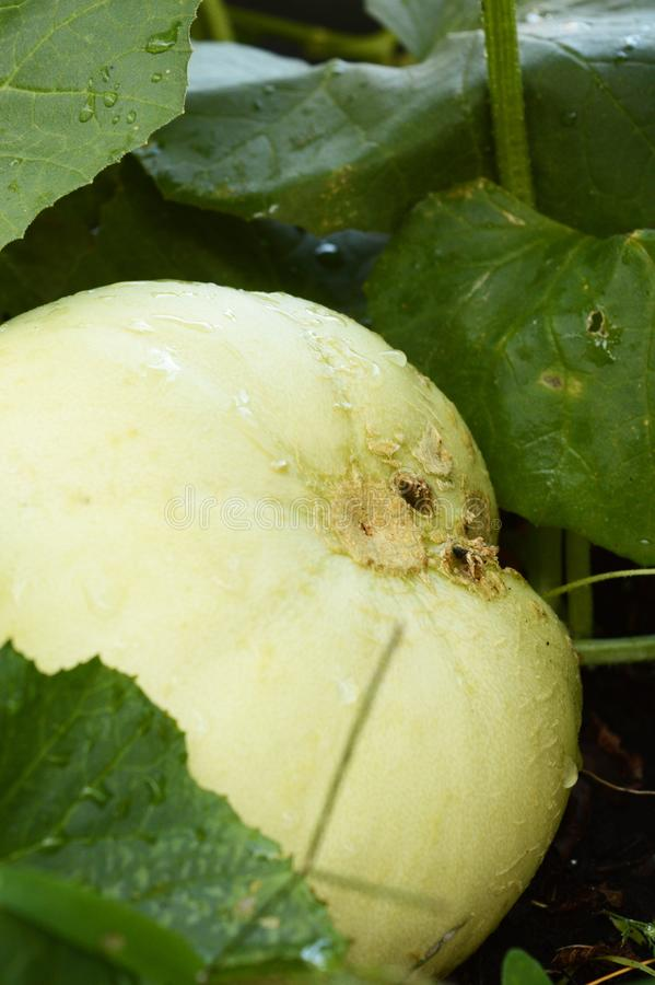 Honey Dew Melon Garden stock photo
