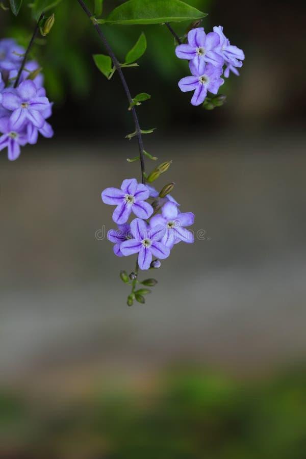 Honey Dewdrops Flowers stockbild
