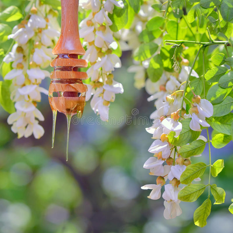 Honey dripping and Acacia flowers stock photo