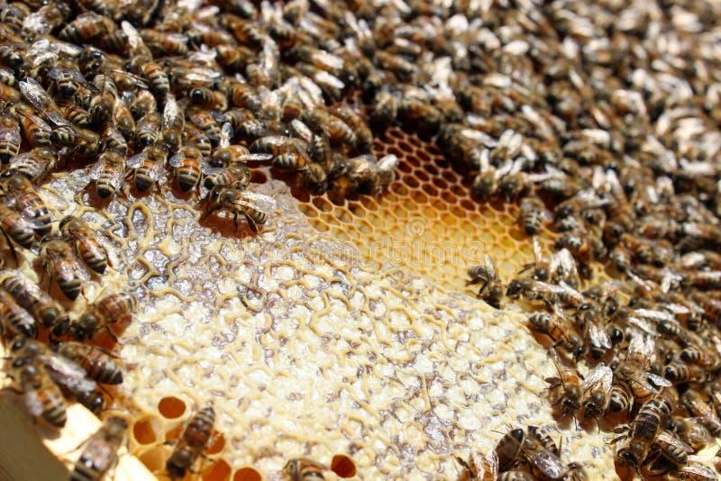 Honey harvesting season stock photography