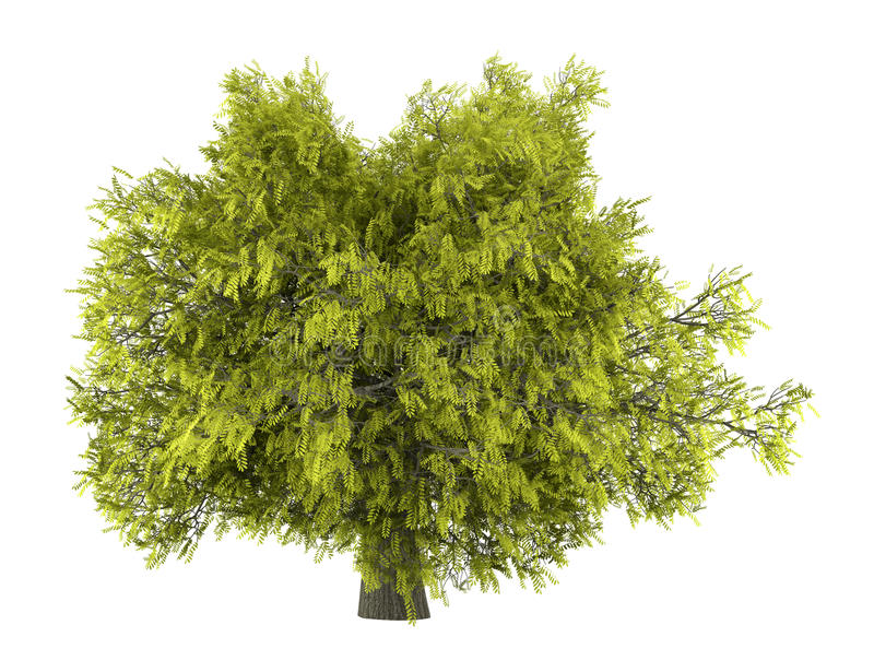 Honey locust tree isolated on white stock illustration
