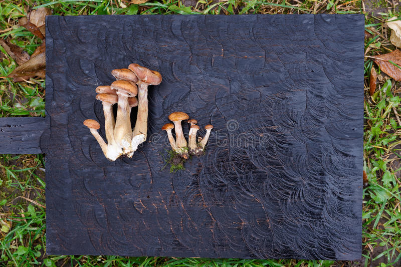 Honey mushrooms on black wooden board. Lying on grass stock images
