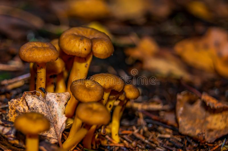 Honey mushrooms growing in the forest. Close-up of edible mushrooms royalty free stock photos