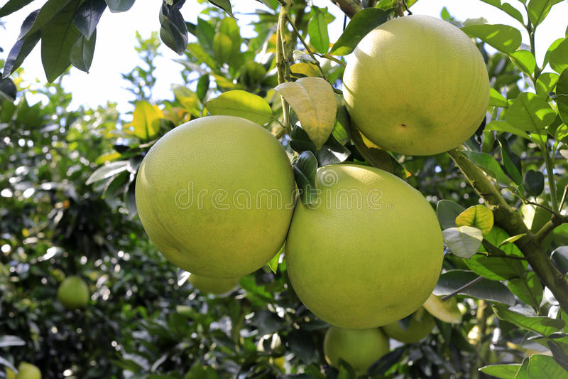 Honey pomelo royalty free stock images