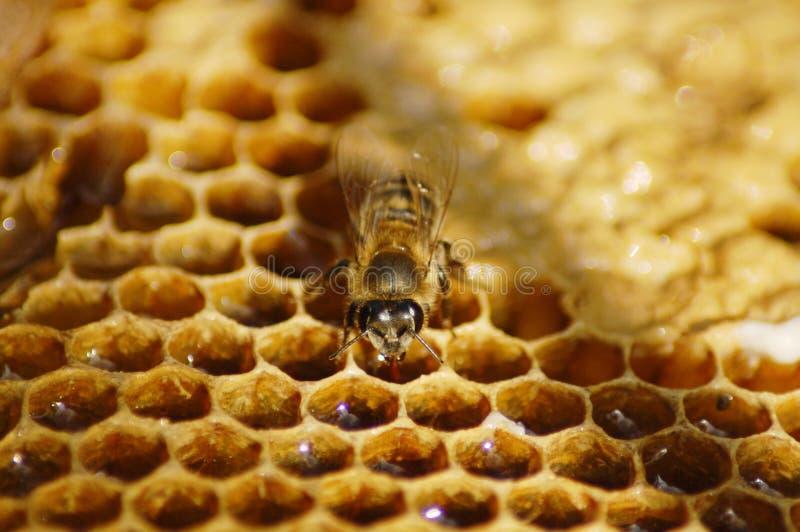 honeybee zdjęcia royalty free