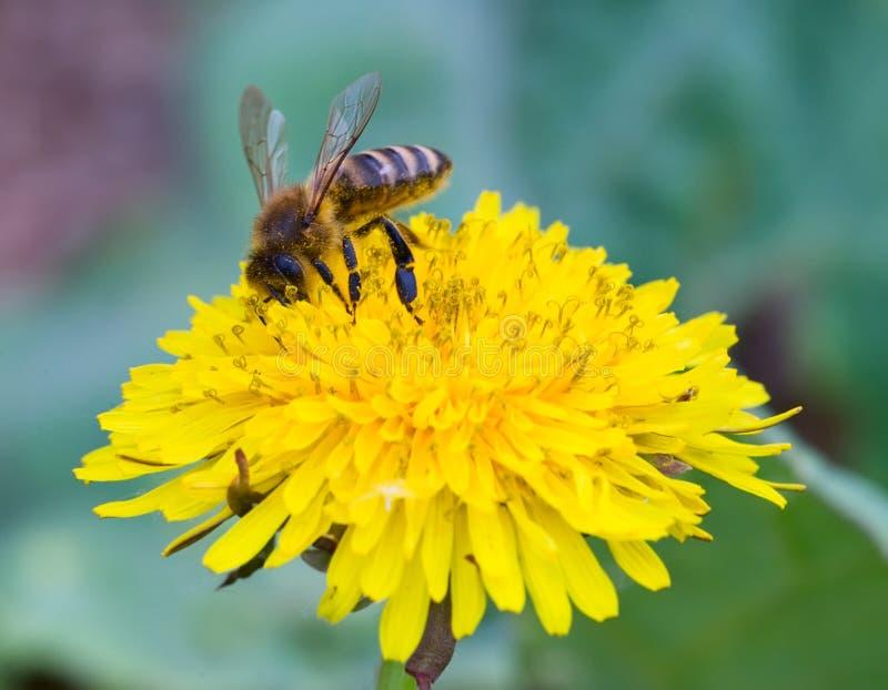 Download Honeybee stock photo. Image of collect, macro, facet - 14412260