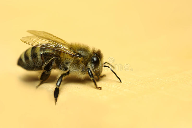 Download Honeybee, stock image. Image of wildlife, insect, isolated - 18930211