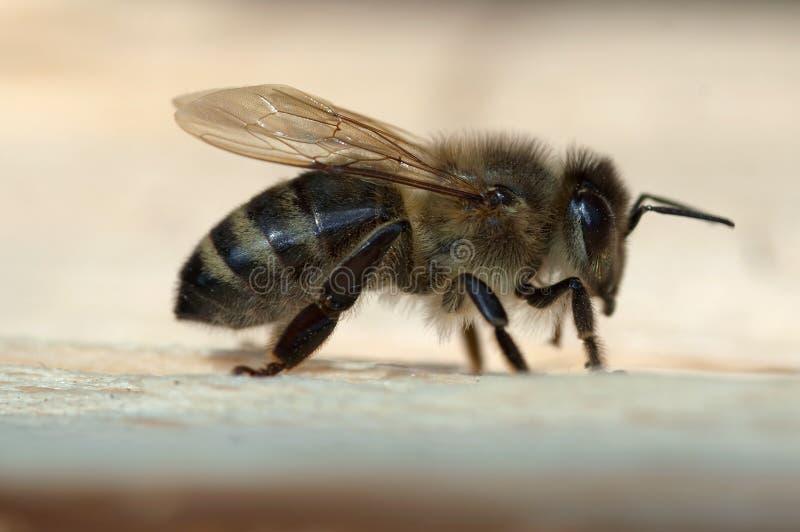 Honeybee royaltyfri bild